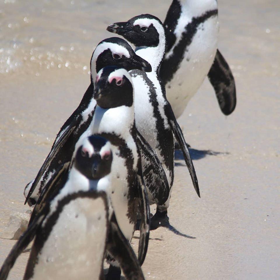 Boulder's Beach penguins - Cape Point self drive