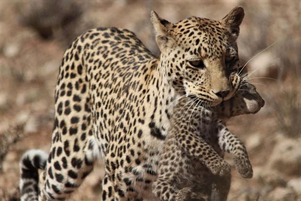 Kgalagadi Transfrontier Park leopards
