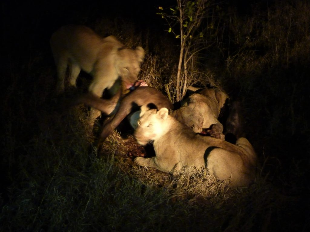Kruger night drive lions on a kill