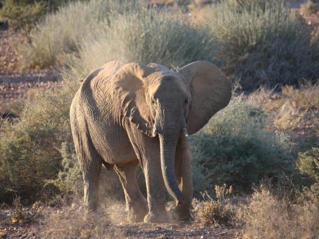 Complete Namibia - Brandberg White Lady Lodge, Desert Elephant