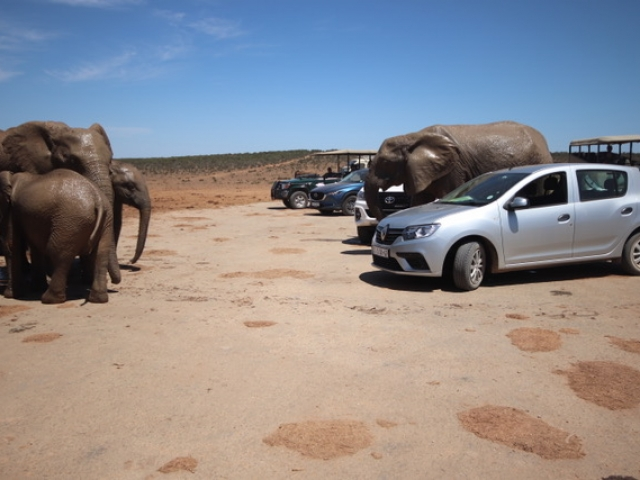 Even in a small sedan you can get up close with the wildlife!