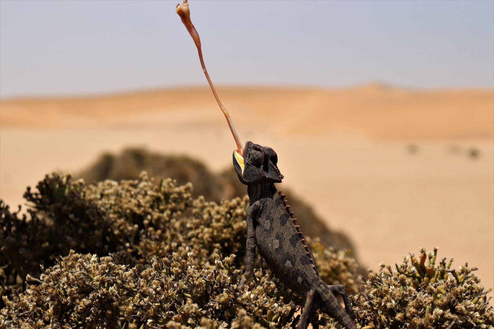Chameleon, Swakopmund Living Desert tour, Namibia Family holiday